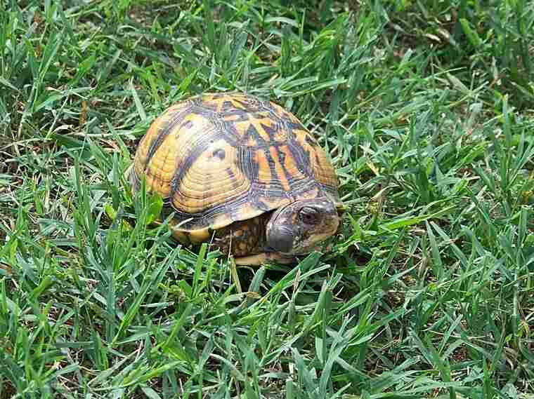 A turtle in Virginia