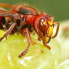 The European hornet, or vespa crabro, helps make wine by kickstarting the fermentation process while the grapes are still on the vine.