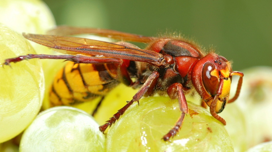 The European hornet, or vespa crabro, helps make wine by kickstarting the fermentation process while the grapes are still on the vine. (Getty Images/Picture Press RM)