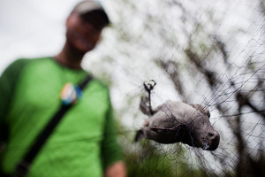 DeGroote collects a gray catbird caught in one of the nets. The 39-foot-by-8-foot nets are designed to safely capture birds.