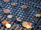 As lobster prices plunge, scallops offer fishermen an alternative to make money.