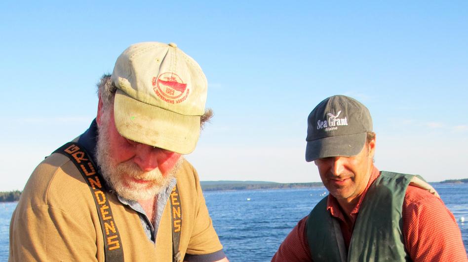 Fisherman Marsden Brewer (left) and researcher Dana Morse are still refining their techniques for sea scallop farming. (Levi Bridges for NPR)
