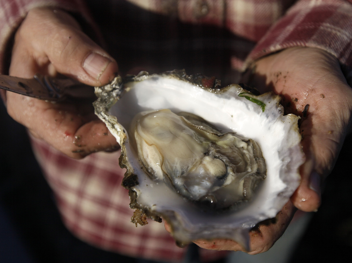 How Climate Change Is Changing The Oyster Business : The Salt : NPR Oyster Eating Salt