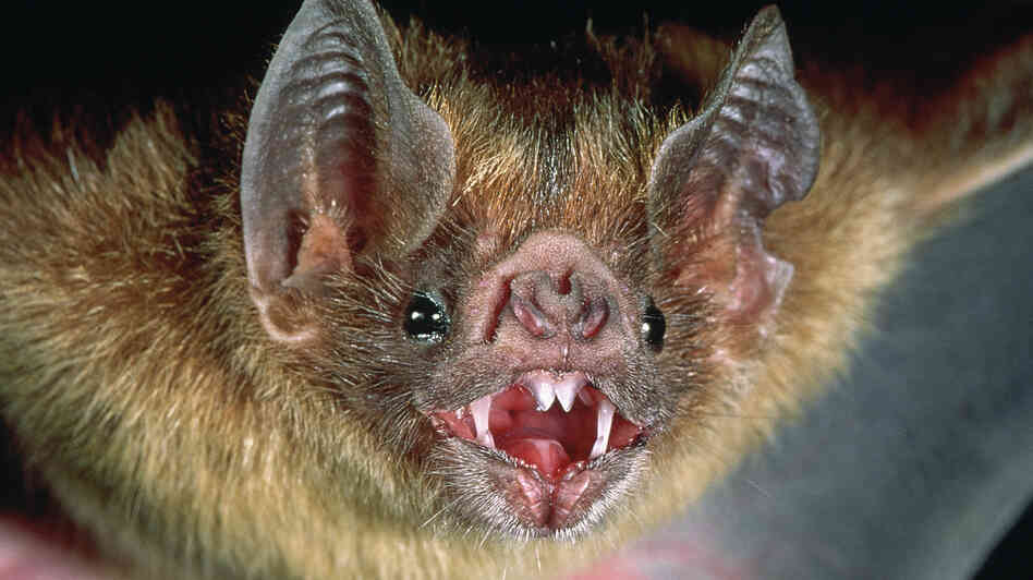 Vampire bats are common in Central and South America, where they feed on livestock and sometimes people.