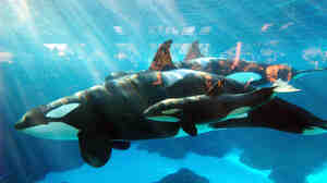 An image provided by SeaWorld San Diego shows Kasatka in December 2004 with a calf she had given birth to just days before.