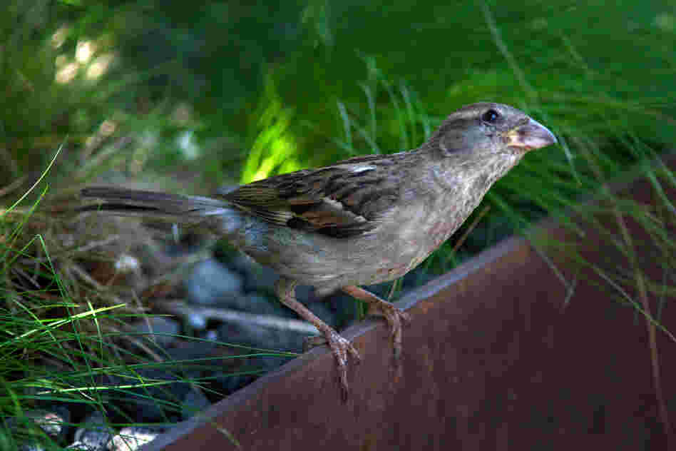 A house sparrow eyes a visitor from the foliage of Manhattan's High Line park.