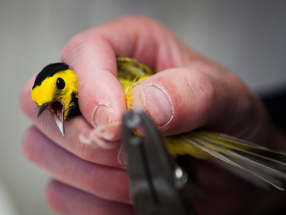 Experts say glass buildings kill millions of birds every year. Scientists at Powdermill Avian Research Center are studying ways to help prevent this. Here, a volunteer tags a black hooded warbler in Rector, Pa., in May.