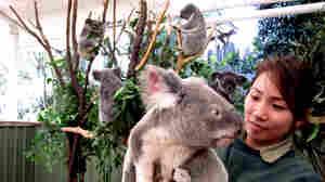 No Space, Mate: Koalas' Habitat Under Threat