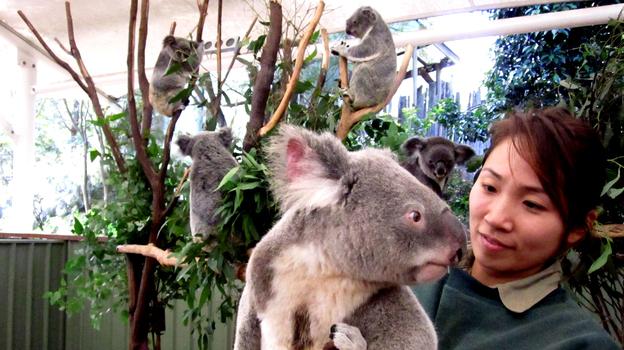 A male koala visits the female enclosure at the Lone Pine Koala Sanctuary in Brisbane, Australia. Koalas are dwindling in number as their habitat along Australia's east coast gives way to urban growth. (Stuart Cohen for NPR)