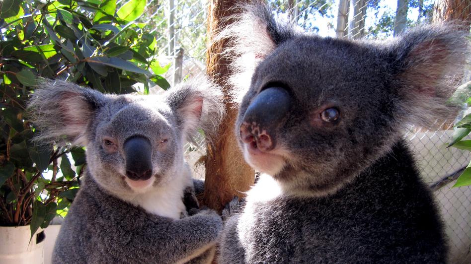 Two blind koalas are in permanent care at Friends of the Koala in Lismore, Australia. (Stuart Cohen for NPR)