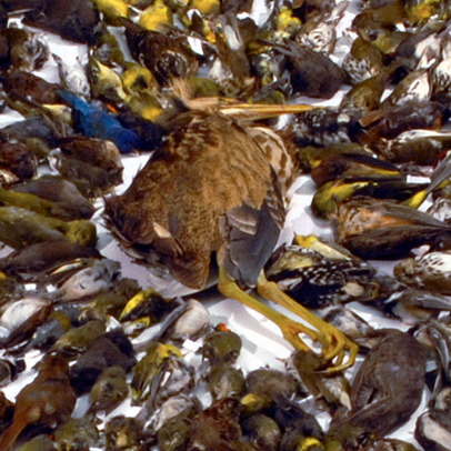 This assortment of over 1,500 dead birds, all killed by collisions with Toronto windows, was collected during the 2010 migration season by volunteers from the Canadian Fatal Light Awareness Program.