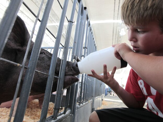 Colton Tucker gives water to a pig to be shown a