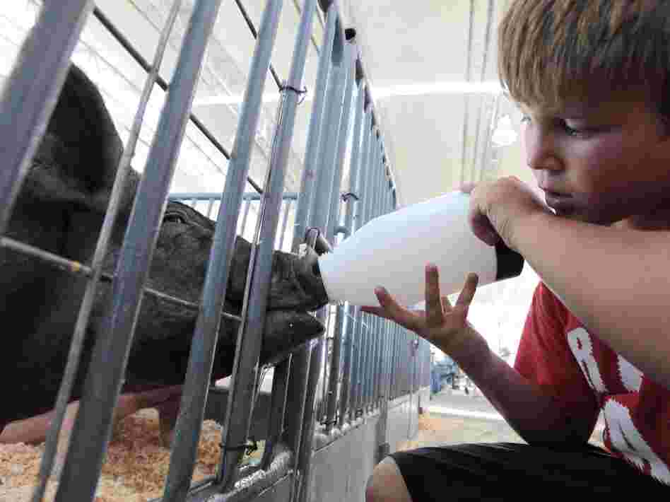 Colton Tucker gives water to a pig to be shown at the California State Fair in Sacramento in July. Federal health officials say most of the cases of a new flu virus in Indiana, Ohio and Hawaii after kids came in direct contact with pigs at agricultural fairs.