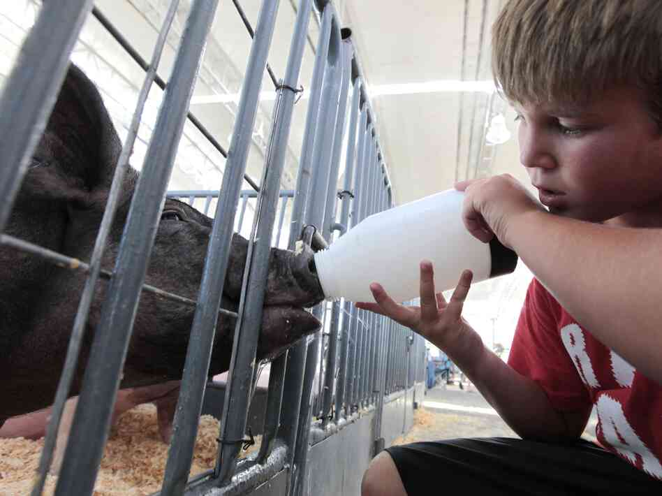 Colton Tucker gives water to a pig to be shown at the California State Fa