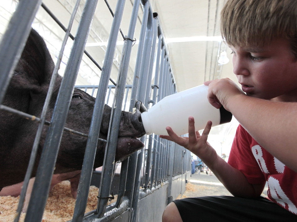 Colton Tucker gives water to a pig to be shown at the California State Fair in Sacramento in July. Federal health officials say most of the cases of a new flu virus in Indiana, Ohio and Hawaii after kids came in direct contact with pigs at agricultural fairs. (AP)