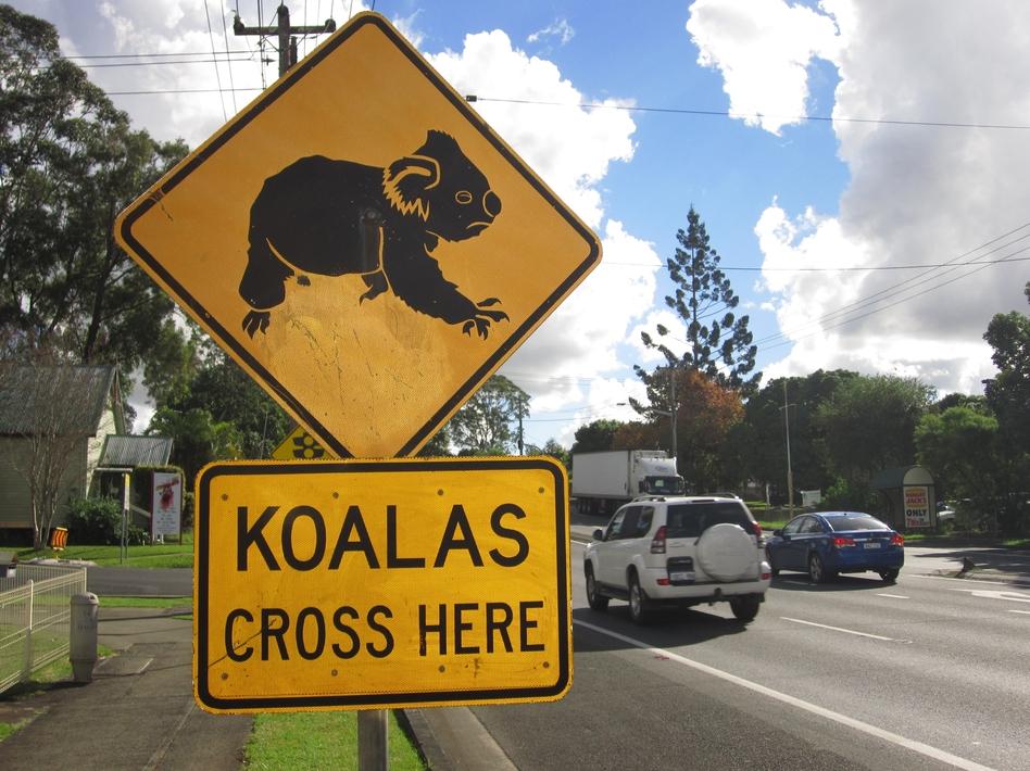 The biggest threat to Australia's koalas is loss of habitat, says Friends of the Koala President Lorraine Vass. (For NPR)