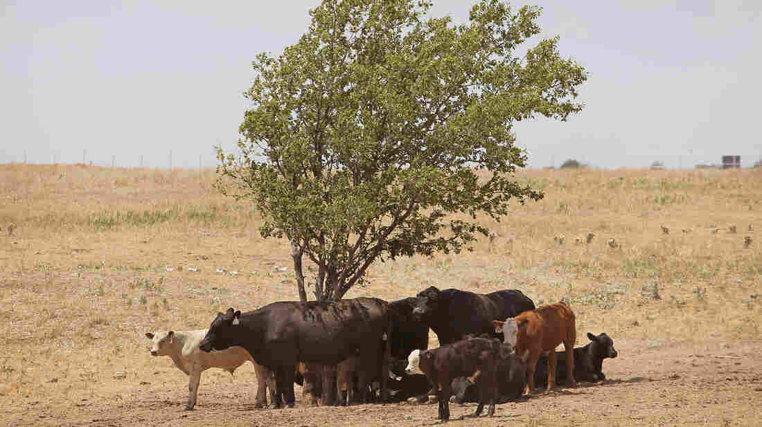 Cattle use a tree for shade as temperatures rose above 100 degrees in a pasture July 28, 2011, near Canadian, Texas.