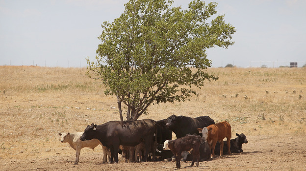Cattle use a tree for shade as temperatures rose above 100 degrees in a pasture July 28, 2011, near Canadian, Texas. (Getty Images)