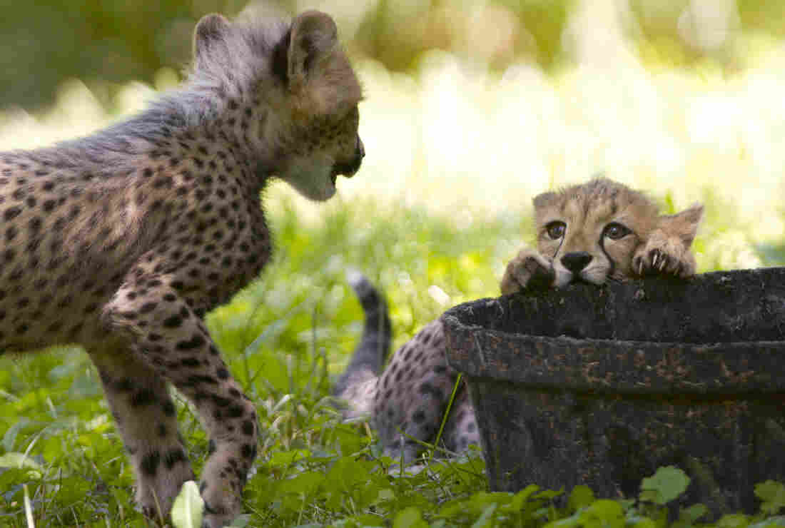 The Cheetahs In Question: Two three-month-old cheetah cubs play during their first week of being on public view at the National Zoo. The animals were named after U.S. track stars Justin Gatlin and Carmelita Jeter. But like even the smallest of felines, there is precious little chance they will ever show even a flicker of recognition upon hearing their name called.