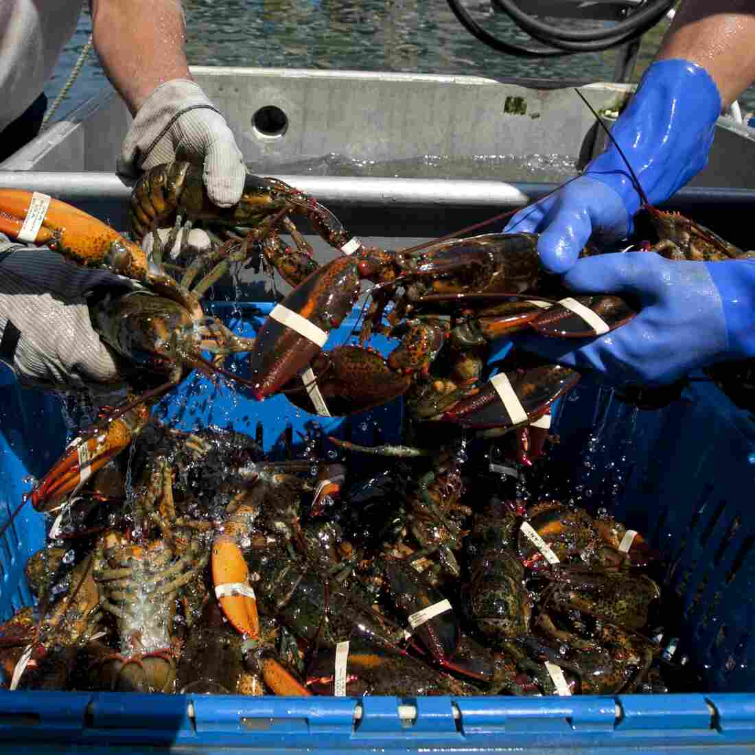 Summer Lobster Surplus Leads To Cross-Border Price War Between Trappers