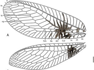 A diagram of the forewing of a Semachrysa jade lacewing with its distinctive markings.