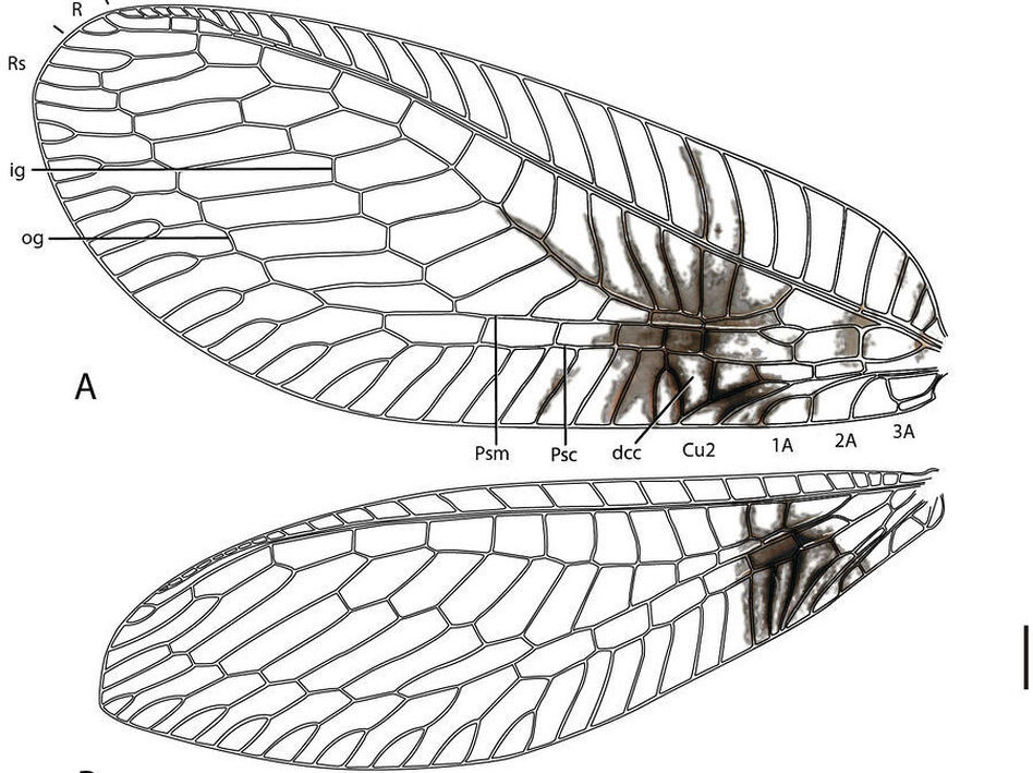 A diagram of the forewing of a Semachrysa jade lacewing with its distinctive markings. ( ZooKeys)