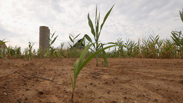 Drought-stricken corn struggles to survive on a farm near Poseyville, Ind. (Getty Images)
