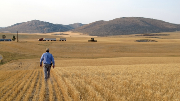 Farmer Hans Hayden walks through his drought-stricken wheat field in Idaho. He says the wheat should be 3 feet tall by now. (Molly Messick for NPR)