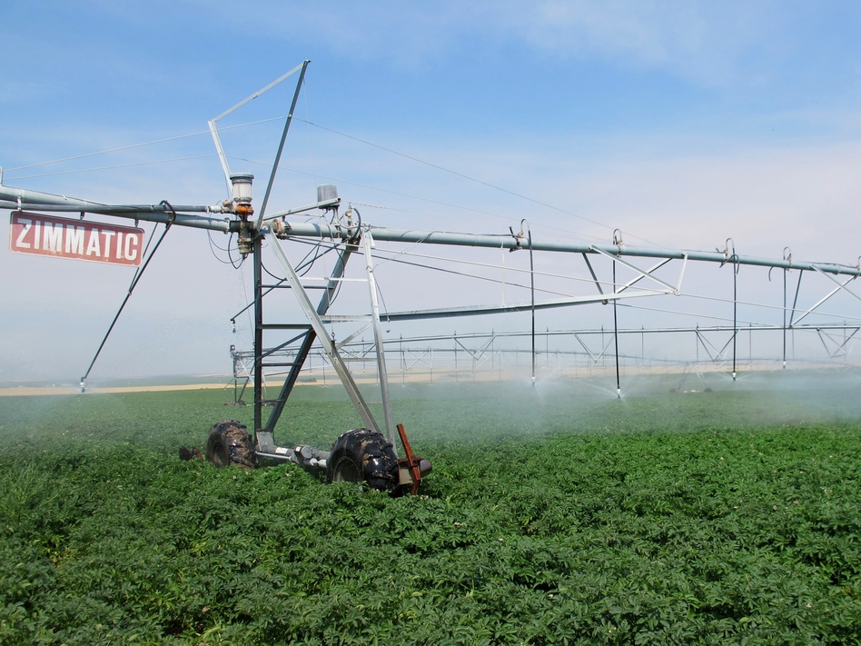 Jim Tiede uses a pivot irrigation system to water his potatoes, so his crops have been growing despite the drought. (Molly Messick for NPR)