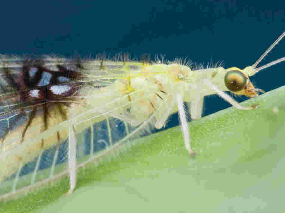 A shot of an unknown species of green lacewing, posted on Twitter, caught the eye of insect biosystematist Shaun Winterton.