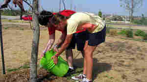 Volunteers water saplings planted in Cunningham Park in Joplin, Mo. The trees were planted to help reforest Joplin after a deadly tornado last year destroyed many of the city's trees.