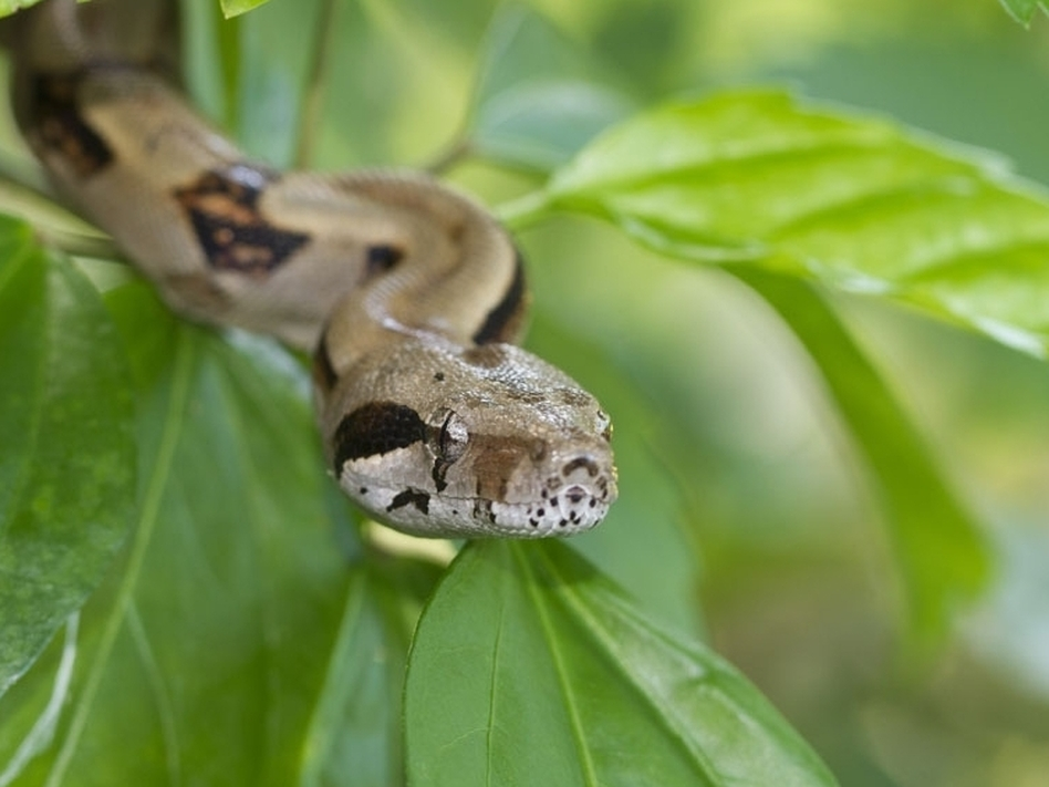 A newly discovered disease in boa constrictors could provide the missing link in the latent Ebola virus.