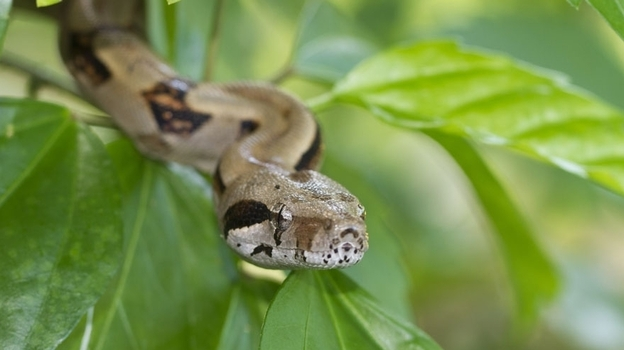 A newly discovered disease in boa constrictors could provide the missing link in the latent Ebola virus. (iStockphoto.com)