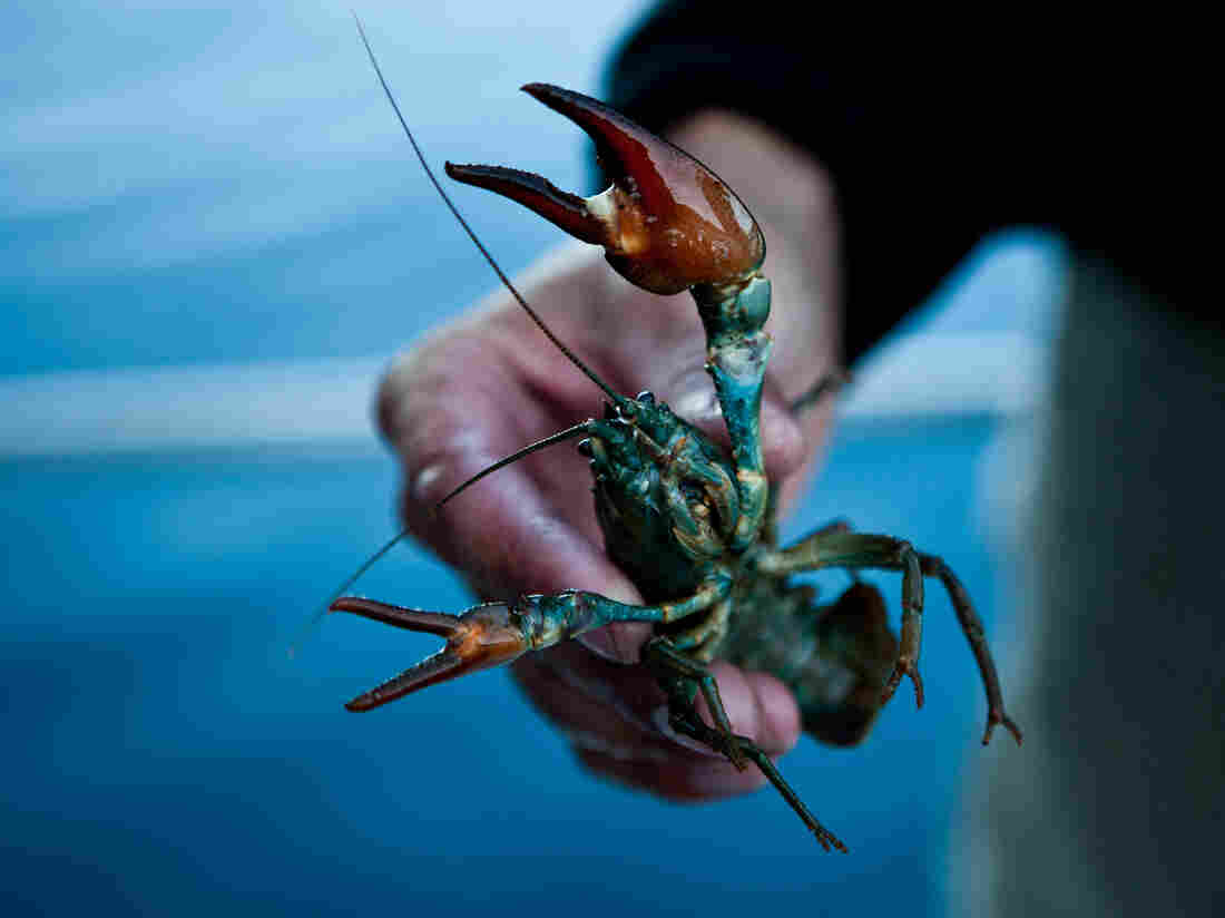 A commercially harvested crayfish from Lake Tahoe near Incline Village, Nev., in July.