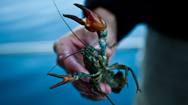 A commercially harvested crayfish from Lake Tahoe near Incline Village, Nev., in July. (Prime for NPR)