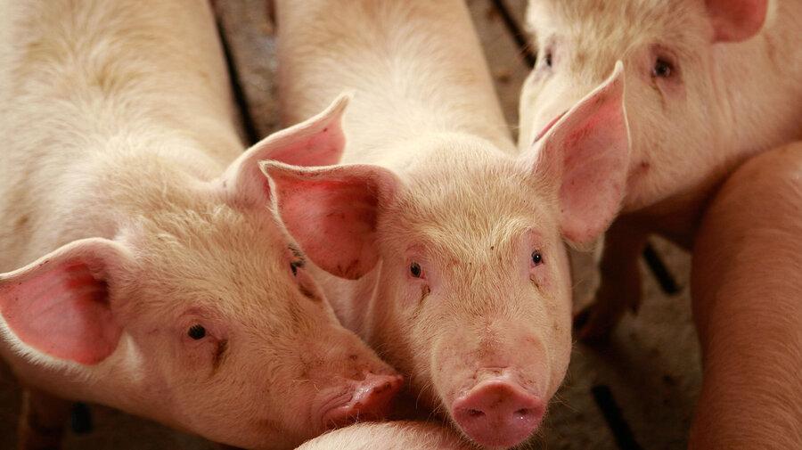 Farm Hog Hogs at a Farm in Elma