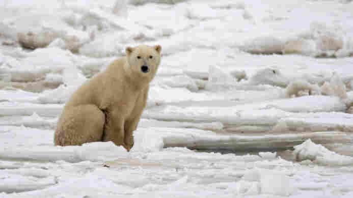 A polar bear on fresh ice in the Hudson Bay in November 2007.