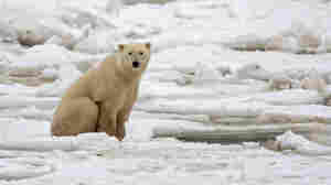 Feds Conclude Probe Of Polar Bear Scientists