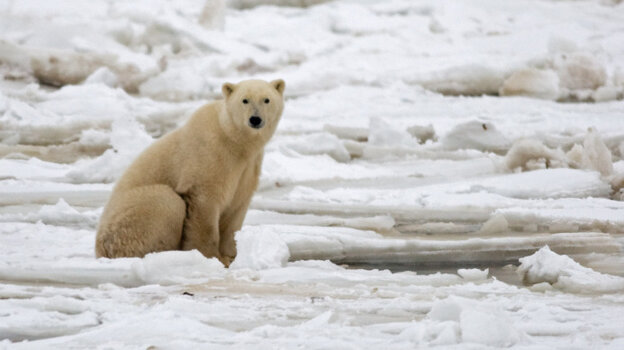 A polar bear on fresh ice in the Hudson Bay in November 2007.