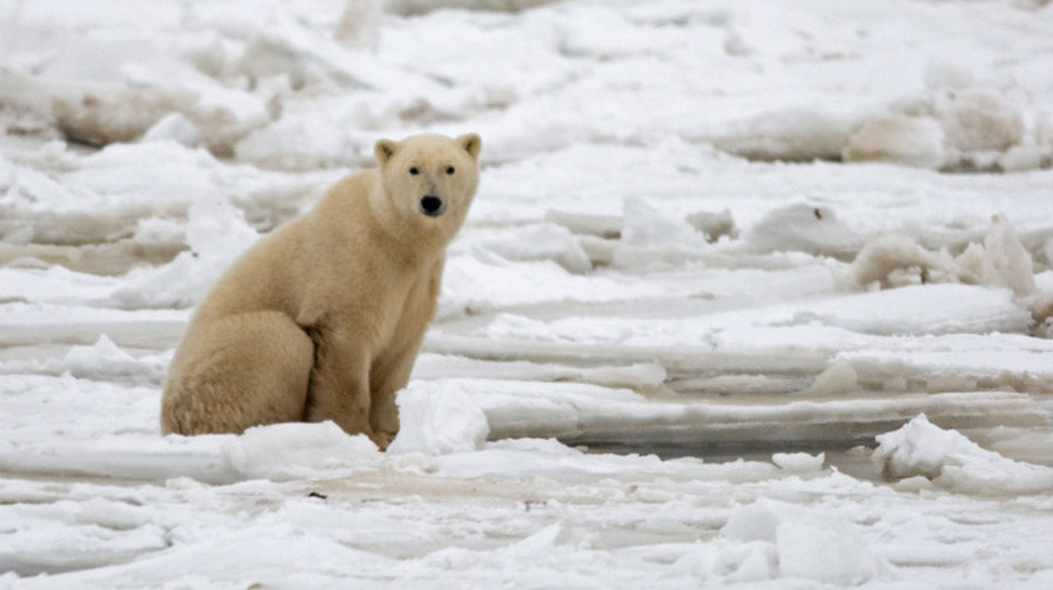 A polar bear on fresh ice in the Hudson Bay in November 2007. (AFP/Getty Images)