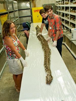 Floridas Biggest Python So Far Measured  Inches Had 87 Eggs