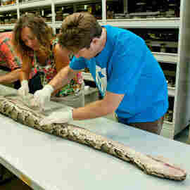 Florida's Biggest Python So Far Measured 17 Feet, 7 Inches; Had 87 Eggs