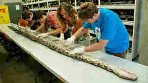 Florida Museum of Natural History researchers at work on the record-long Burmese python.