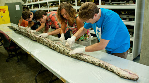 Florida Museum of Natural History researchers at work on the record-long Burmese python. (University of Florida)
