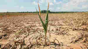 Corn in a time of drought.