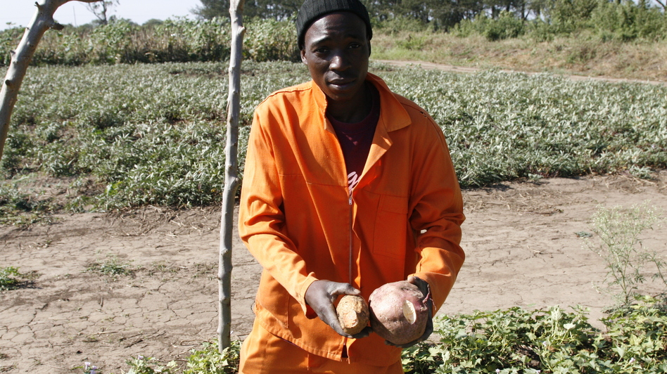Arcanjo Alfabeto Cosim works on a farm that grows orange sweet potatoes and distributes vines to other farmers to plant. (NPR)