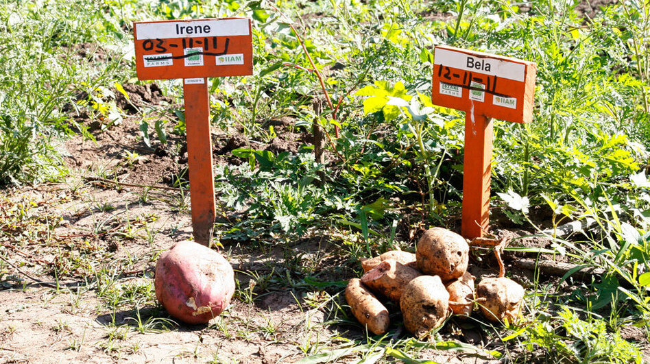 These two varieties of orange sweet potatoes are being promoted in Mozambique for their tolerance to drought. (NPR)