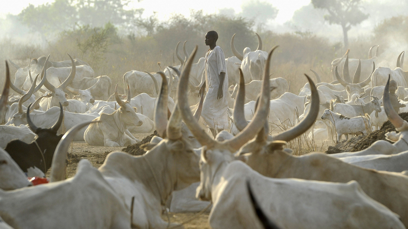 In South Sudan, Cows Are Cash And Source Of Friction : NPR