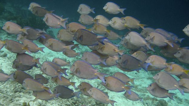 A school of Blue Tang fish swimming together off the Caribbean island of Bonaire. It has long been assumed that the schooling behavior of fish evolved in part to protect animals from being attacked by predators. (AP)
