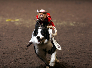 A capuchin monkey riding a dog. Tim Lepard, owner and creator of the Monkey Rodeo, says his animals are treated humanely.